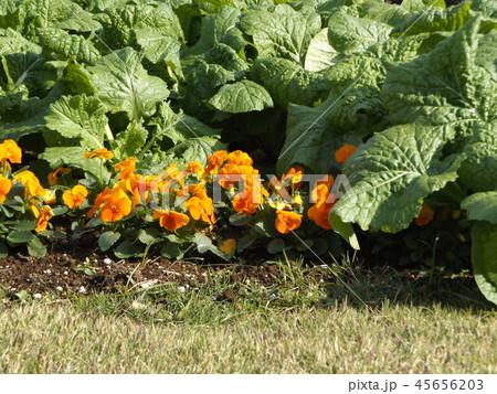 年明けまで咲き続けるパンジーのオレンジ色の花とナバナの葉 45656203