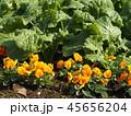 年明けまで咲き続けるパンジーのオレンジ色の花とナバナの葉 45656204