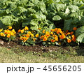 年明けまで咲き続けるパンジーのオレンジ色の花とナバナの葉 45656205