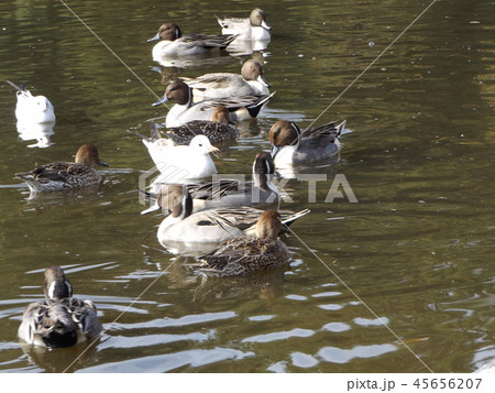 今年も来ました冬の渡り鳥オナガガモとユリカモメ 45656207