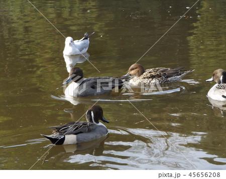 今年も来ました冬の渡り鳥オナガガモとユリカモメ 45656208