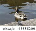 今年も来ました冬の渡り鳥オナガガモ 45656209