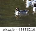 今年も来ました冬の渡り鳥オナガガモとユリカモメ 45656210