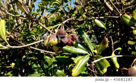 赤い粘液に包まれた種が顔を出したトベラ 45681287