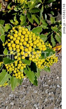 黄色い蕾は海岸の花イソギク蕾 45681748