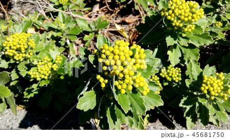 黄色い蕾は海岸の花イソギク蕾 45681750