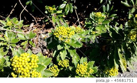 黄色い蕾は海岸の花イソギク蕾 45681751