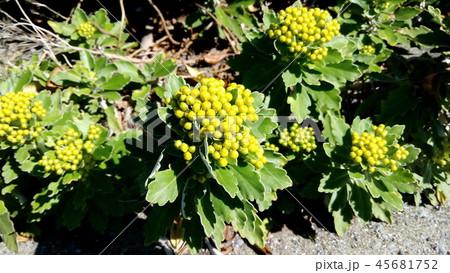 黄色い蕾は海岸の花イソギク蕾 45681752
