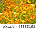 ポピー 花 花畑の写真 45686168