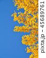 イチョウ 黄葉 青空の写真 45689761