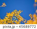 イチョウ 黄葉 青空の写真 45689772