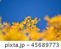 イチョウ 黄葉 青空の写真 45689773