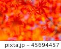 紅葉 イロハモミジ 楓の写真 45694457