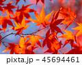 紅葉 イロハモミジ 楓の写真 45694461