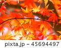 紅葉 イロハモミジ 楓の写真 45694497