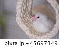 文鳥 ブンチョウ 雛  45697349