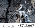 ガラパゴス カツオドリ 鳥の写真 45713997