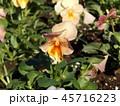 黄色の花のビヲラ 45716223