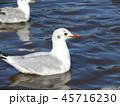 稲毛海浜公園に飛来したユリカモメ 45716230