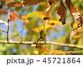 紅葉とジョロウグモ 45721864