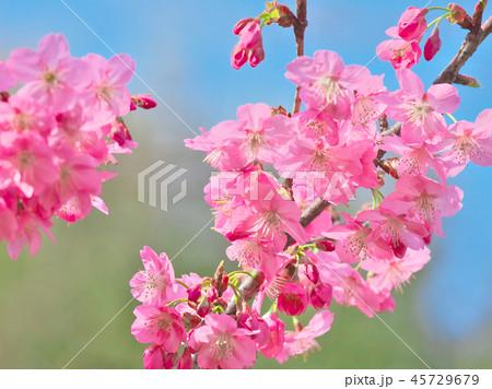 鮮やかに咲く桜 45729679