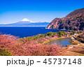 河津桜 富士山 海の写真 45737148