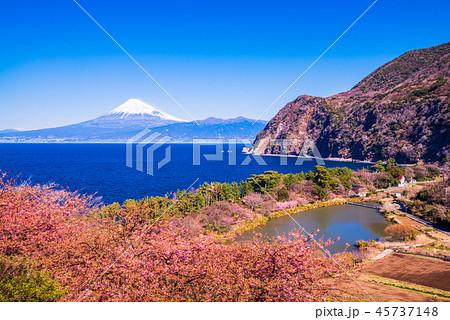 (静岡県)河津桜咲く西伊豆井田から、海越しの富士山 45737148