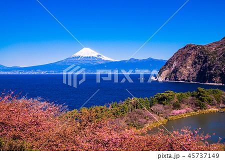 (静岡県)河津桜咲く西伊豆井田から、海越しの富士山 45737149