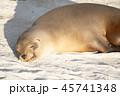 ガラパゴスアシカ 動物 アシカの写真 45741348