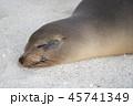 ガラパゴスアシカ 動物 アシカの写真 45741349