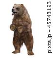 熊 グリズリー 動物のイラスト 45743193