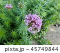 タマザキギリア 45749844