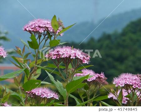 シモツケの花 45749845