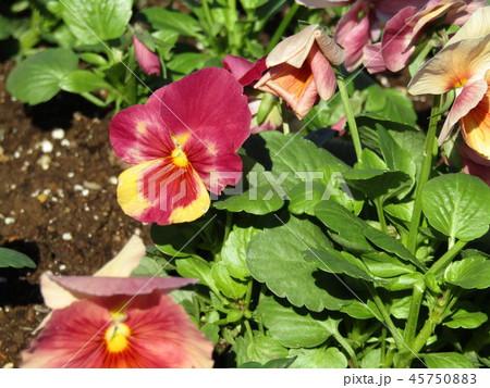赤色の花のビオラ 45750883