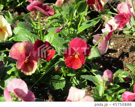 赤色の花のビオラ 45750886