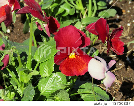 赤色の花のビオラ 45750887