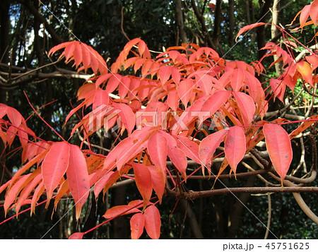 ハゼの木の紅葉 45751625
