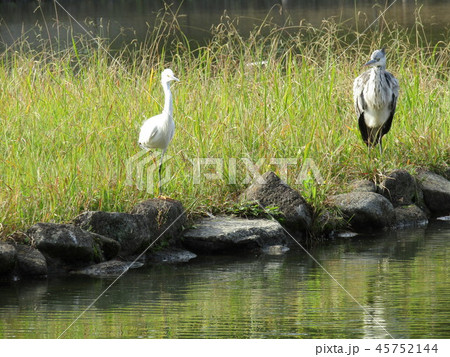 千葉公園に来たアオサギとコサギ 45752144