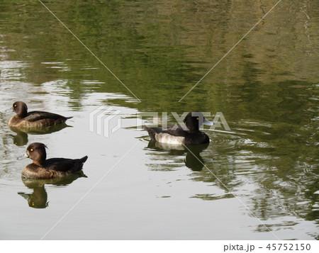 千葉公園綿打池のキンクロハジロ 45752150