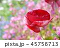 ポピー 花 ケシの写真 45756713