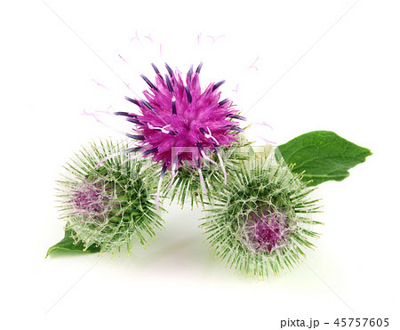 Burdock flower isolated on white background. Medicinal plant: Arctium 45757605