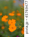 キバナコスモス 花 オレンジ色の写真 45769477