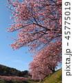 みなみの桜と菜の花まつり 45775019