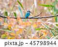 カワセミ 小鳥 とまるの写真 45798944