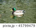 マガモ 水鳥 鳥の写真 45799479