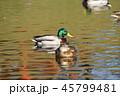 マガモ 水鳥 鳥の写真 45799481