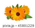 マリーゴールド キンセンカ 金盞花の写真 45801229