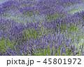 ラベンダー 植物 花の写真 45801972