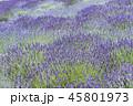 ラベンダー 植物 花の写真 45801973