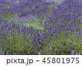 ラベンダー 植物 花の写真 45801975